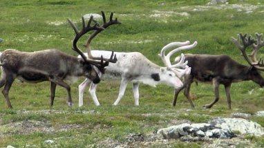 santas-reindeer